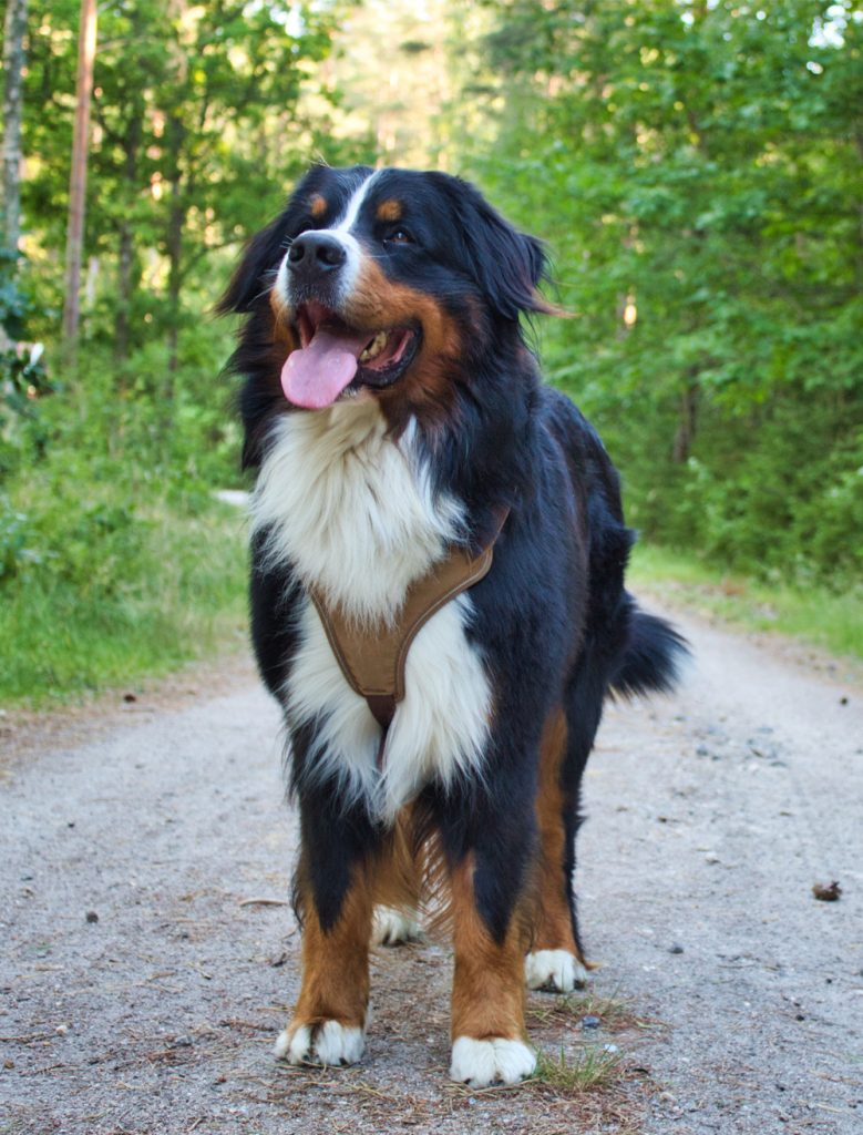 Berner sennen hondenuitlaatservice staand